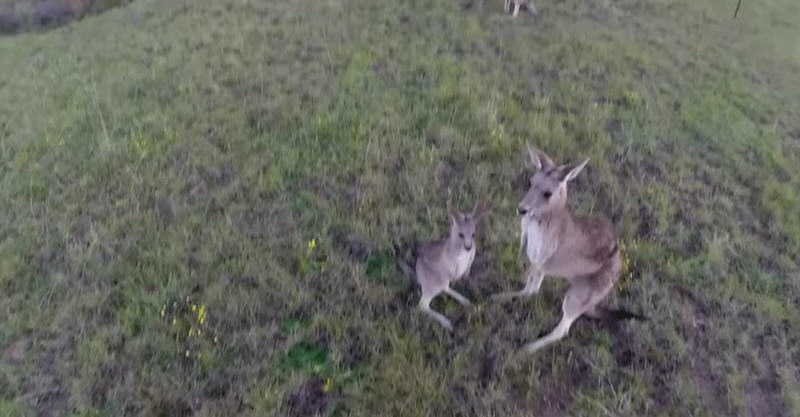 fbthumb copy1 Kangaroo Gets Pissed With Drone, Delivers Flying Punch To Its Dome