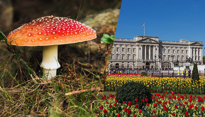 mushroomb Magic Mushrooms Discovered In Buckingham Palace Grounds