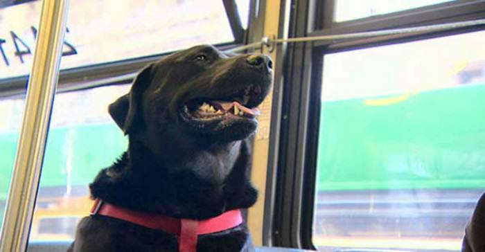 011315 komo bus riding dog new img e1421252167284 This Friendly Dog Takes The Bus To The Park By Herself