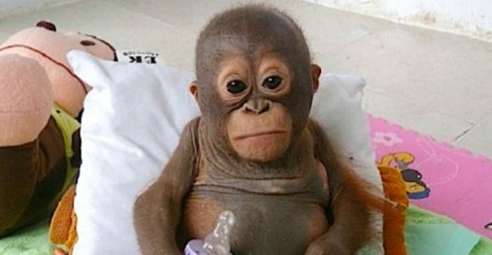 qebeq e1422646889766 Baby Orangutan Receives Care After A Year Of Abuse