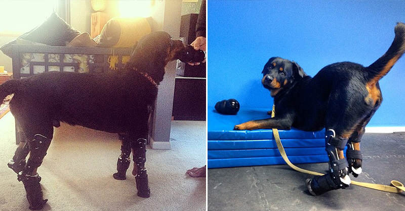 188 Rottweiler Becomes Second Dog Ever To Get Four Prosthetic Limbs