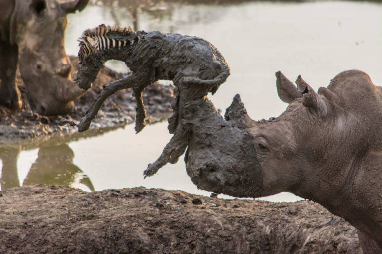 ZEB Amazing Moment Rhino Lifts Zebra Free From Mud Turns Into Disaster