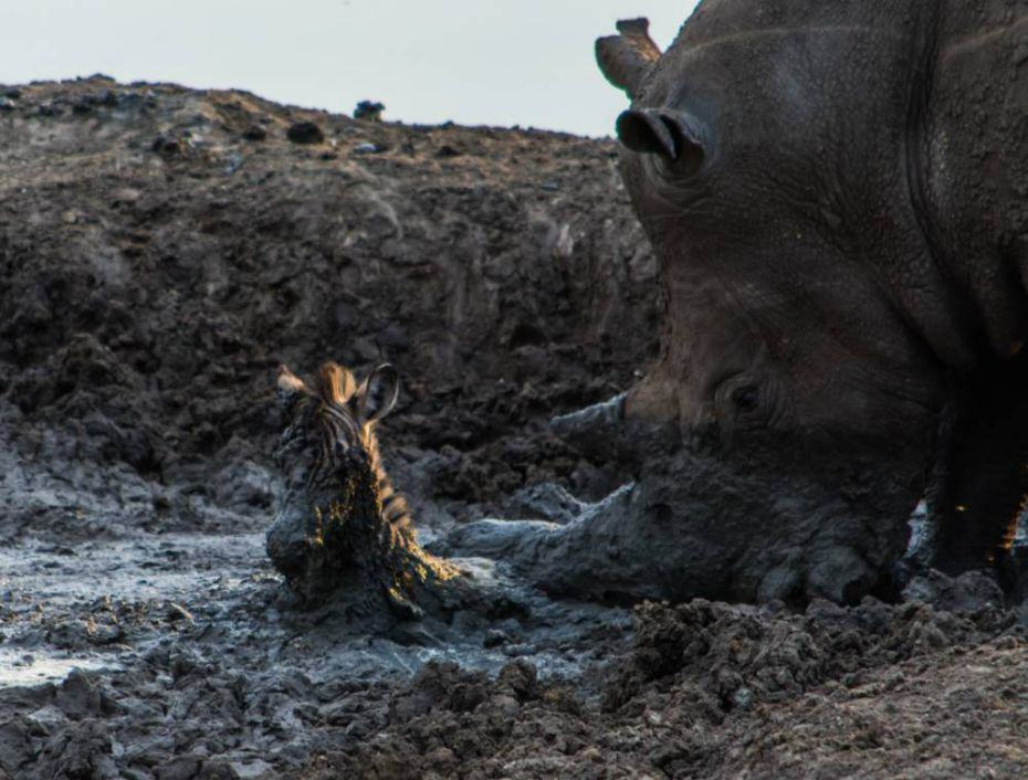rhino2 Amazing Moment Rhino Lifts Zebra Free From Mud Turns Into Disaster