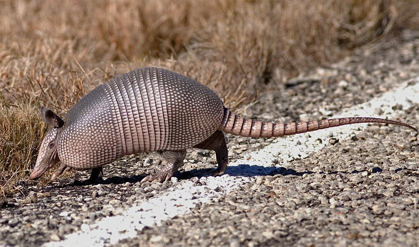 armadillo 31 Man Accidentally Shoots Mother In Law After Bullet Bounces Off Armadillo