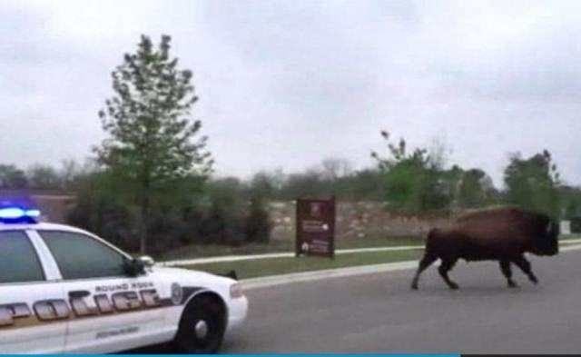 Police In Texas Get Involved In A Chase Because Of An Escaped Buffalo buffalo 640x393