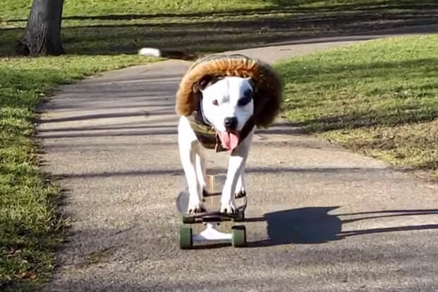 kjhgv This Skateboarding Staffie Is Out To Change Peoples Negative Perceptions Of The Breed