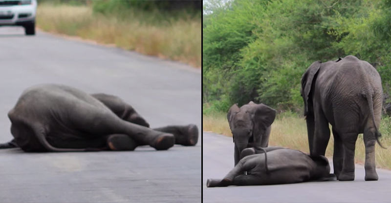 1146 Elephant Herd Come To Rescue When Elephant Calf Collapses In Road