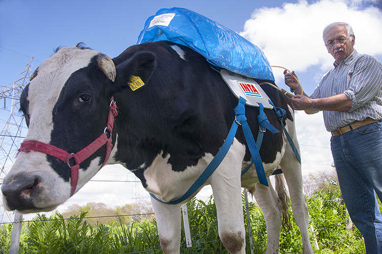 152 Backpacks For Cows Collect Their Farts And Use Them For Energy
