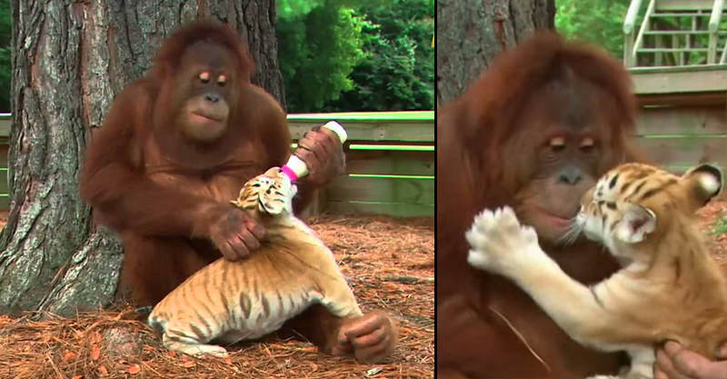 165 Male Orangutan Adopts Three Tiger Cubs As His Own