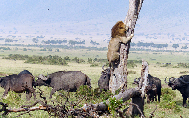 Screen Shot 2015 05 26 at 10.07.29 Lion Scrambles Up Tree To Escape Pissed Off Buffalo Herd