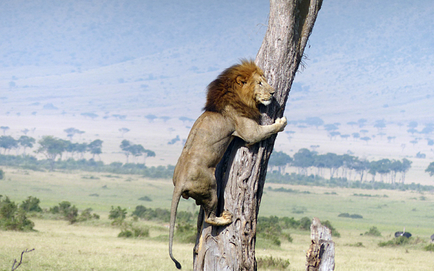 Screen Shot 2015 05 26 at 10.07.57 Lion Scrambles Up Tree To Escape Pissed Off Buffalo Herd
