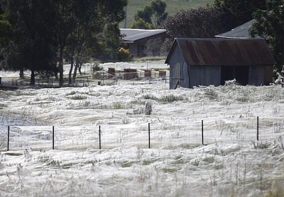 Millions Of Spiders Fall From Sky In Australia, Cover Gardens With Cobwebs angel hair NEW 1