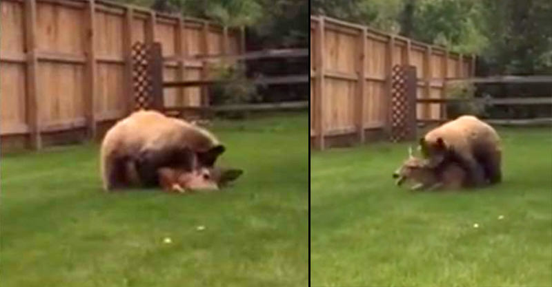 169 Disturbing Smartphone Footage Of Bear Attacking Deer Goes Viral