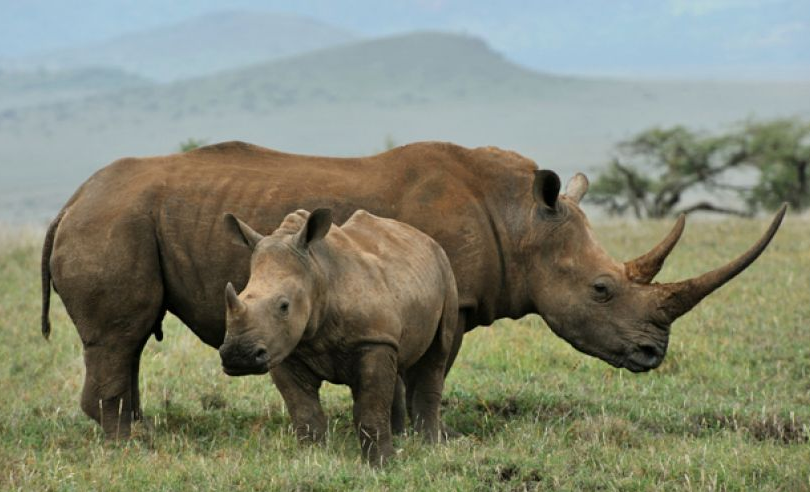 Firm To 3D Print Rhino Horns To Flood Chinese Market With Screen Shot 2015 06 24 at 12.22.27