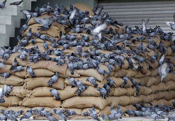 ISIS Bans Pigeon Breeders Because Sight Of Birds Genitals Is Against Islam pigeon breeding WEB