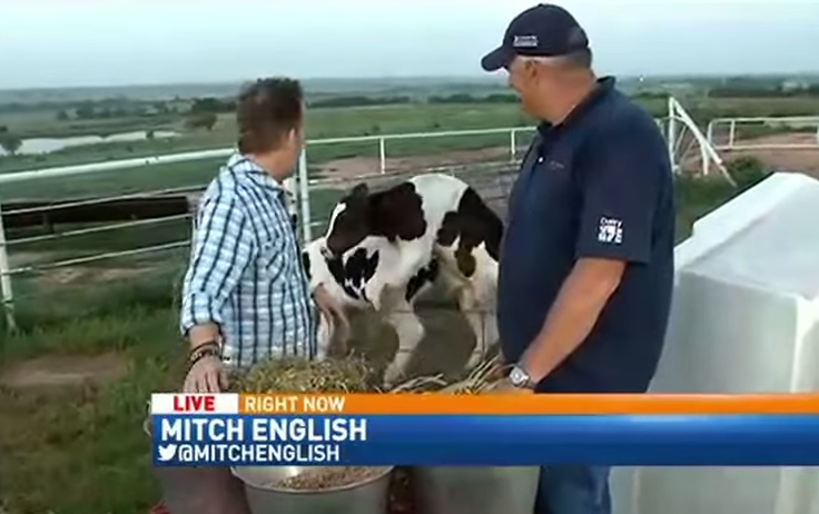 1 Cows Start Banging During Live News Broadcast