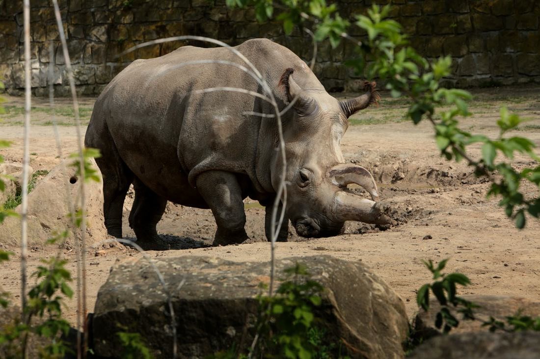 Rare Northern White Rhino Dies, Leaving Only 4 In The World