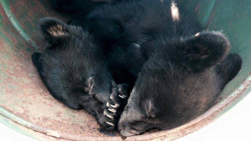 XIhVmjvNBeaaTAG 800x450 noPad Conservation Officer Suspended For Refusing To Kill Bear Cubs Gets Ricky Gervais Backing