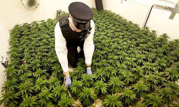 cannabis 011 Cannabis Prohibition Has Gone To Pot: Users Of Plant Given Green Light
