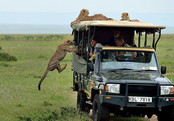 Crazy Moment Cheetah Jumps Into Mans Safari Jeep cheetah 6