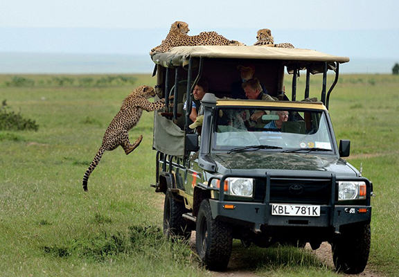 Crazy Moment Cheetah Jumps Into Mans Safari Jeep cheetah web