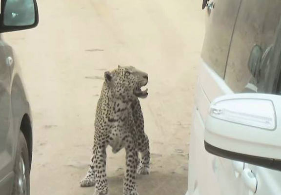 leopard web Shocking Moment Leopard Attacks Tour Guide In South Africa