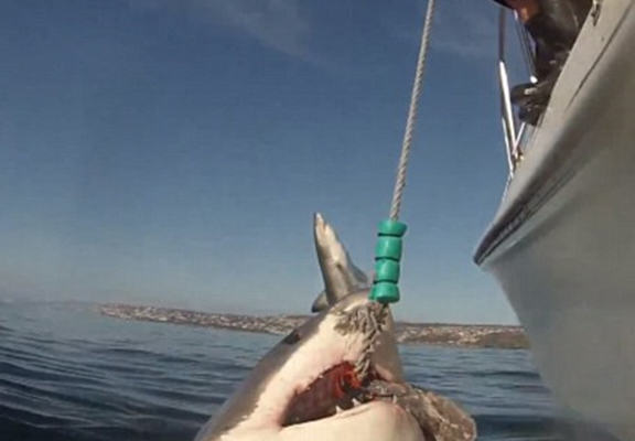sharkw web Great White Shark Photobombed By Another In Amazing Footage