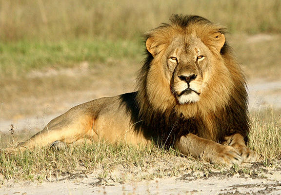 SaUShsxOC Cecil The Lion Is Going To Get A Statue In His Memory
