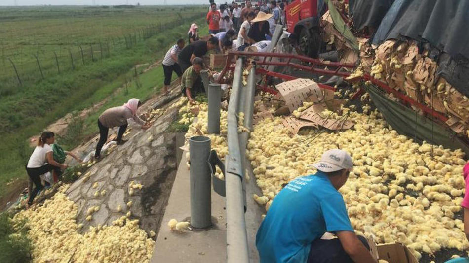 UNILAD 1515 Thousands Of Fluffy Yellow Chicks Were Let Loose On A Chinese Highway
