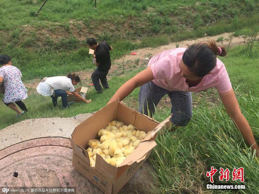UNILAD 283 Thousands Of Fluffy Yellow Chicks Were Let Loose On A Chinese Highway