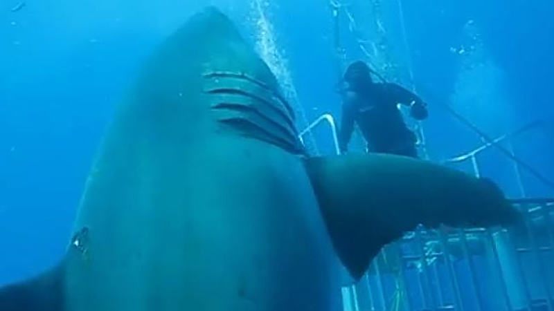 UNILAD 437653 48faba0c 4128 11e5 aee4 367c734067073 Footage Released Of World's Largest Great White Shark Swimming With Divers