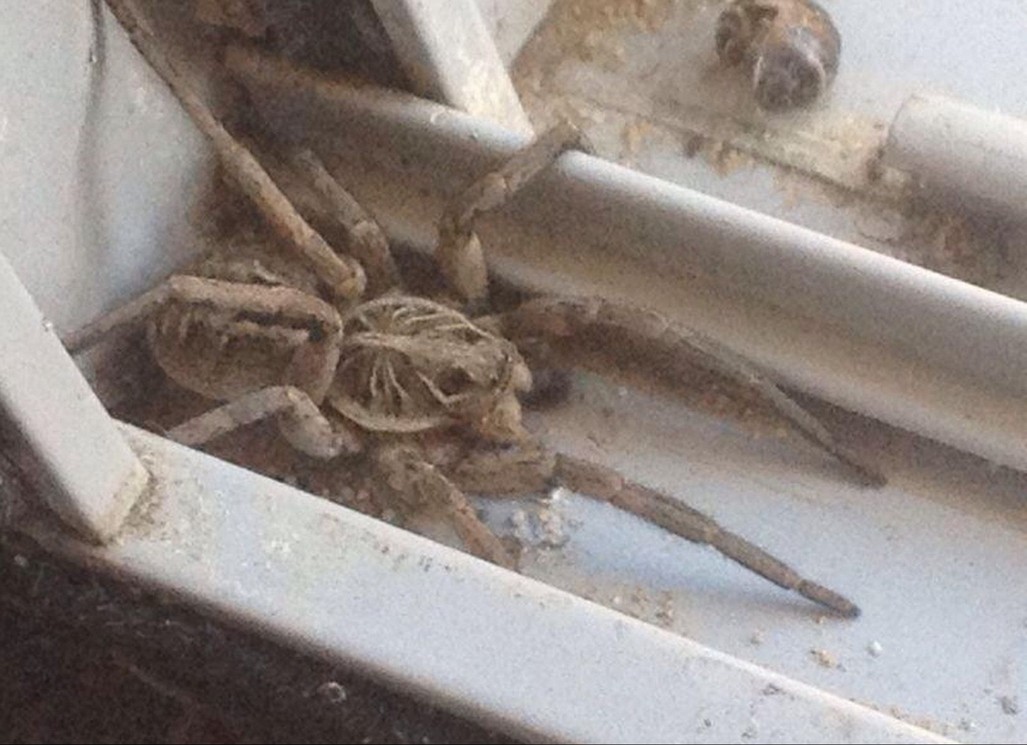 Giant Horny Mouse Sized Spiders Set To Invade UK Homes UNILAD Screen Shot 2015 08 20 at 16.41.526