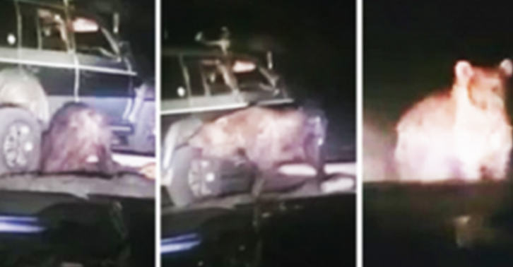 UNILAD bear 42 Bear Trapped Under SUV Frees Itself, Goes On Mad Rampage