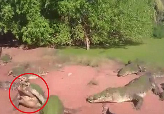 UNILAD croc web5 Horrifying Footage Shows Crocodile Biting Off Playmates Leg At Feeding Time