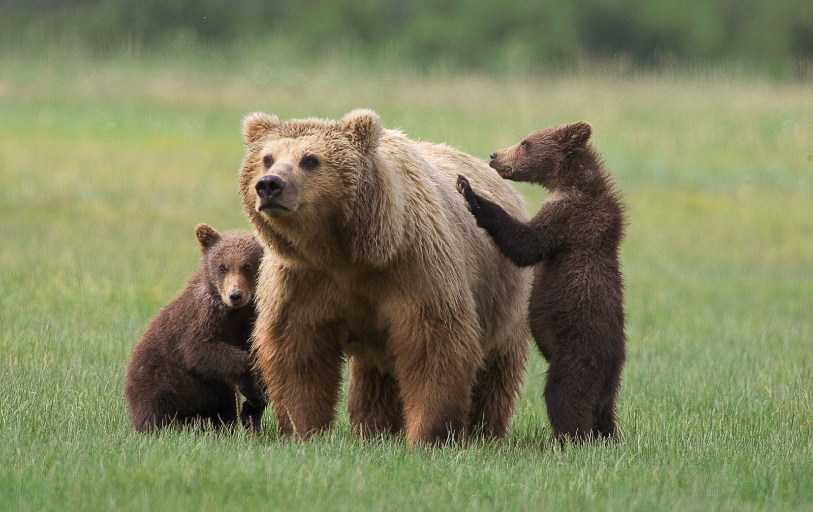 UNILAD mom grizzly8 Man In Bear Costume Harasses Actual Real Life Bears In Alaska