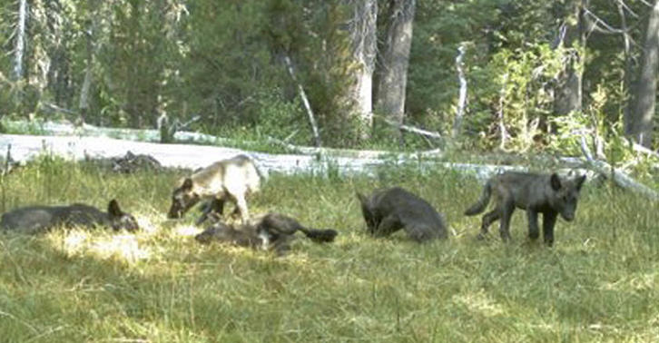 UNILAD wolf 36 Pictures Of Wolf Pups Reveal First Pack In California For Century