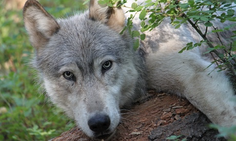 UNILAD wp7 Pictures Of Wolf Pups Reveal First Pack In California For Century