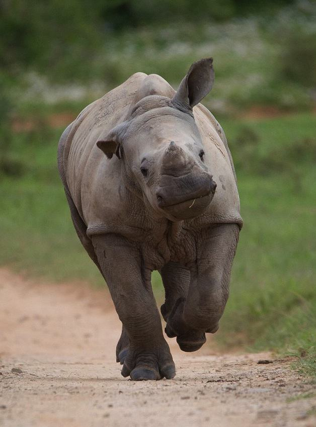 gLsDbKiI7Jacques Matthysen 1.jpg Baby Rhino Pictured Smiling Following Attack By Poachers That He Survived