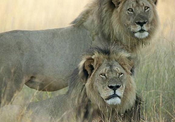 zvix4GmKdces1 web.jpg Cecil The Lions Brother Killed By Poachers Leaving Cubs Unprotected