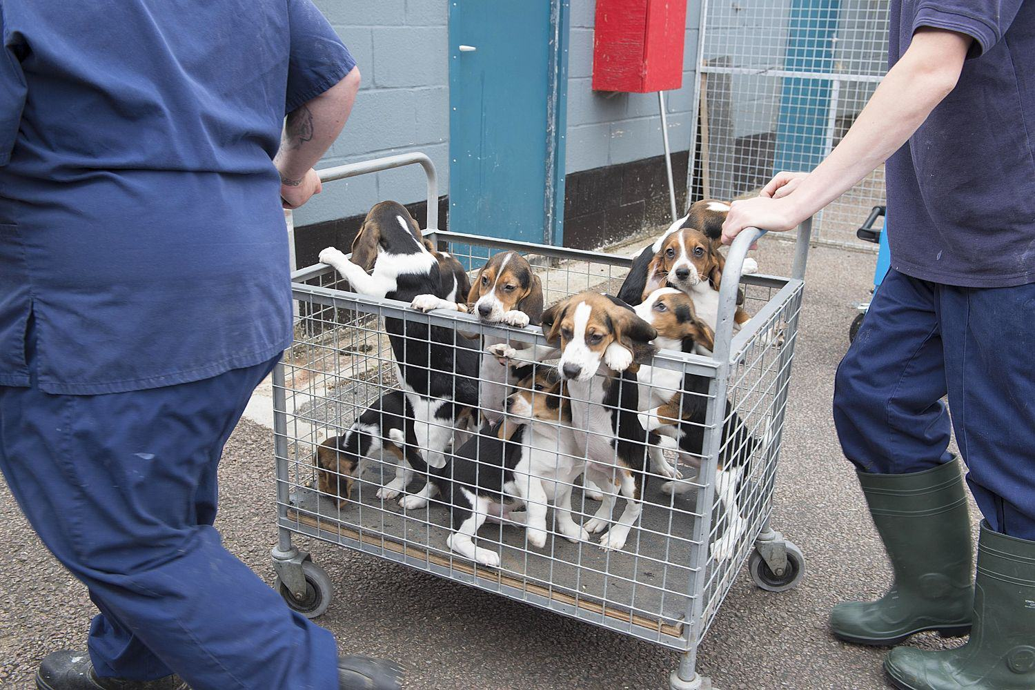 UNILAD 04 1a0d8490 5b27 1 2486859a4 There's A Secretive Farm In Cambridge Where Beagles Are Bred To Die