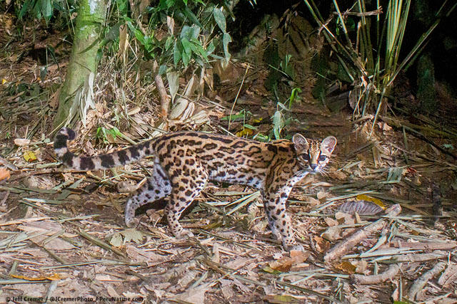 UNILAD rainforest animals 66 Guy Sets Up Camera Trap In Amazon Jungle And Snaps Rare Animals