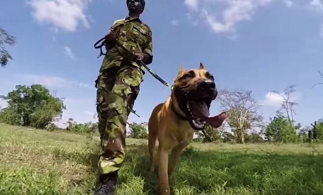 Meet The Dog That Hunts Rhino Poachers In Africa UNILAD 119281449