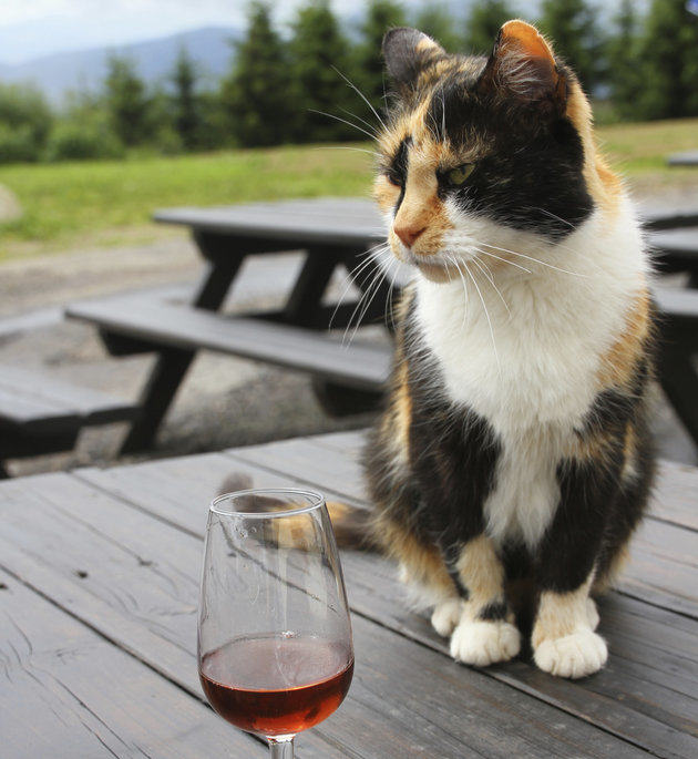 UNILAD cat wine91880 Cat Gets Pissed On Wine, Has Three Day Hangover