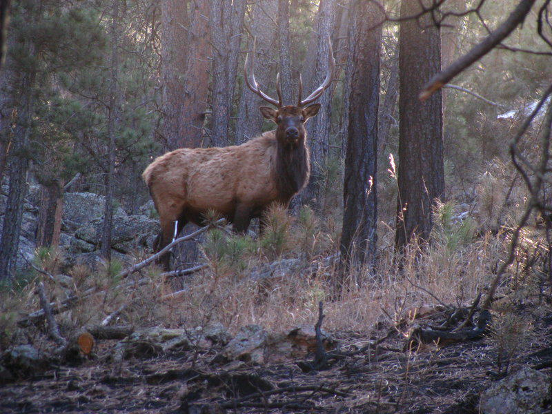 UNILAD elk in the woods iv by larkpaw d354fhy31819 Hunters Track And Kill Two Elk, Realise They Were Firing Into Zoo