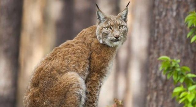 Wild Cats The Size Of Alsatians Could Be Reintroduced To UK To Hunt Deer UNILAD lynx 126775 640x351