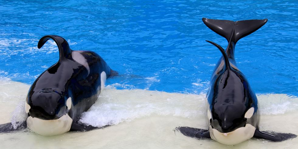 UNILAD orca seaworld 211 SeaWorld Banned From Breeding Orca Whales In Captivity