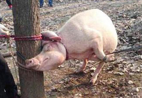 UNILAD pig boy web57019 Horrific Scenes As Mother Pig Eats Two Year Old Boy