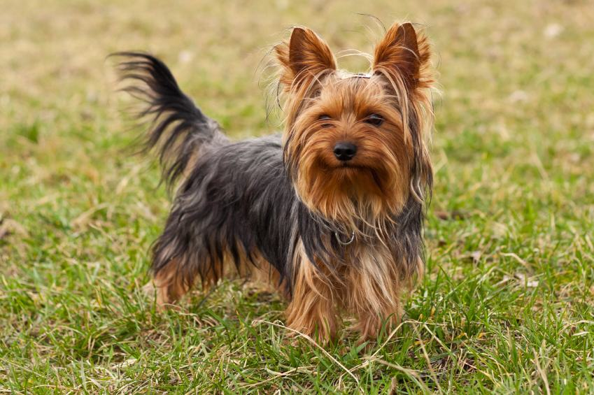 UNILAD yt4 Tiny Yorkshire Terrier Drove Owners Truck Into Lake