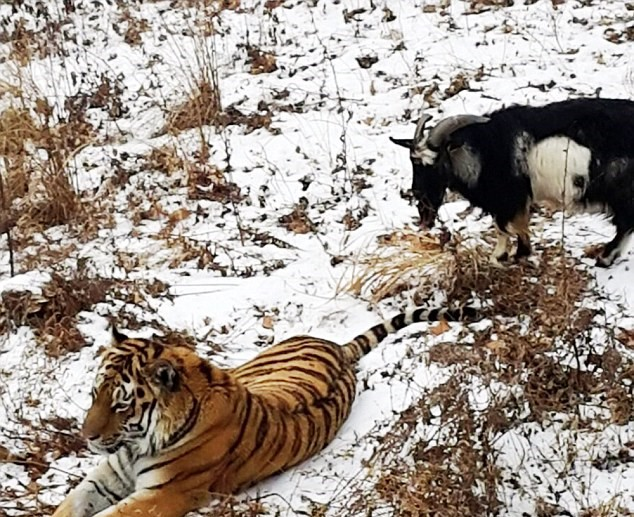 22 Goat Put In Tiger Enclosure As Lunch, Steals Tigers Bed And Becomes Boss