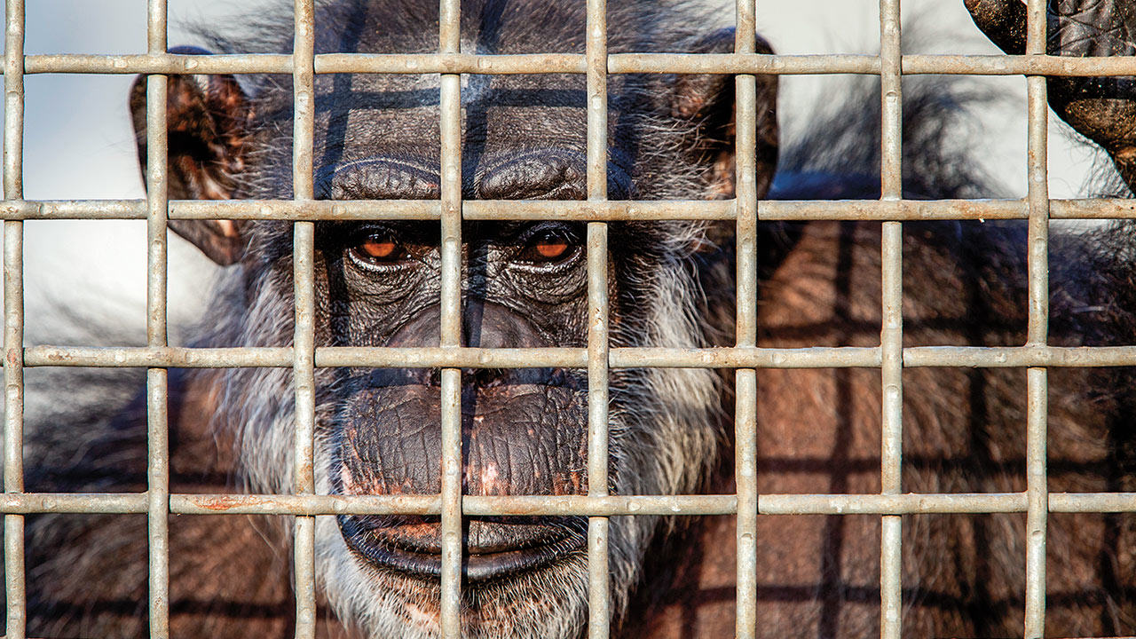 MELANIE STETSON FREEMANAP IMAGES The U.S Government Is Retiring All Research Chimpanzees